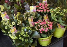 Liberty fleurs pour l 39 achat de plantes un large choix de - Quand faut il couper les fleurs fanees des hortensias ...